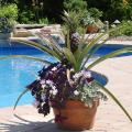 Grow your own pineapple -- this attractive edible is perfect for a container garden